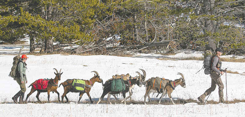 Desarae and Justin Starck, of Rozet, lead their pack goats through the Bighorn National Forest on their way to camp deep in the wilderness on an elk-hunting trip. The goats follow their human pack leaders, thanks to bonding with their owners since birth.