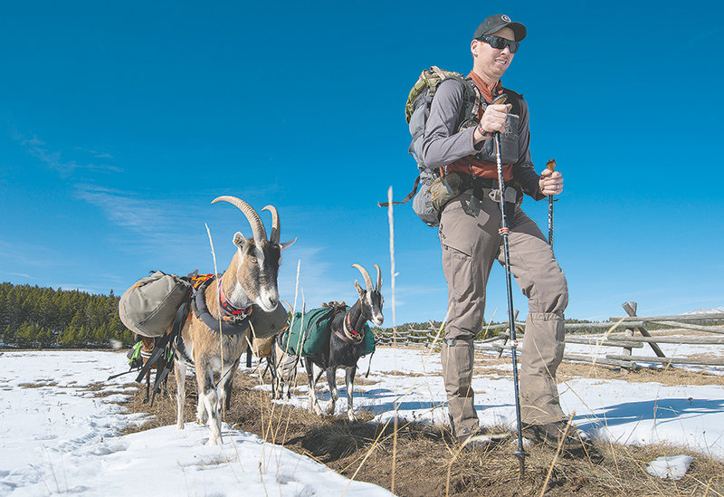 Justin Starck leads a small herd of pack goats on a 5-mile hike in the Bighorn National Forest on Monday. Justin, his wife Desarae and the goats set out on an elk hunt Monday. The goats carried most of the equipment and food necessary for a week in the mountains, helping Desarae bag a trophy bull elk on Tuesday. Pack goats are becoming more popular for hunters, hikers and outdoor enthusiasts wanting to save money and to hike where horses can't go.