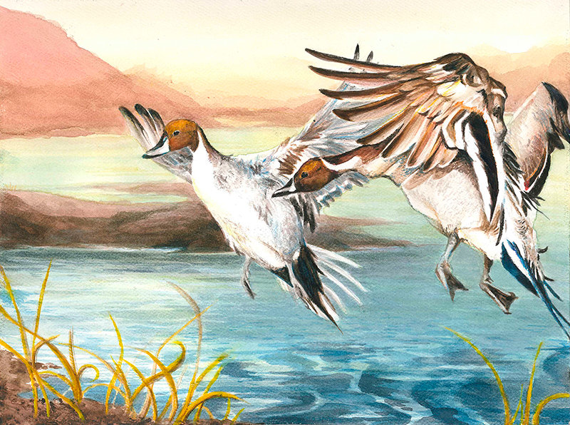 Wyoming's 2019 Best of Show artwork is a watercolor rendition of a pair of northern pintail drakes titled 'Pintails in Flight' by Brianna Simmons of Cody.