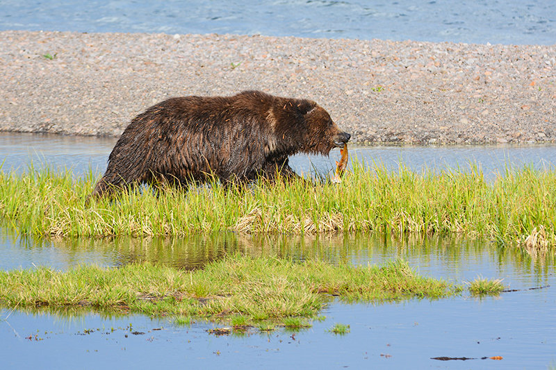 With a cutthroat trout clenched between its teeth, a grizzly bear walks along Yellowstone Lake in June 2016. Last week, leaders of the Wyoming Game and Fish Department took a step toward allowing the state's grizzly bears to be transferred to other states. Game and Fish commissioners said they hope the change can help address concerns raised by those who oppose delisting the Yellowstone area's grizzlies.