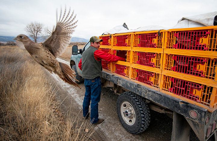 Austin Quynn, a seasonal technician with the Sheridan bird farm, releases both male and female pheasants at Yellowtail WHMA, near Lovell. Quynn stocks about 350 pheasants twice a week at the property through the hunting season.