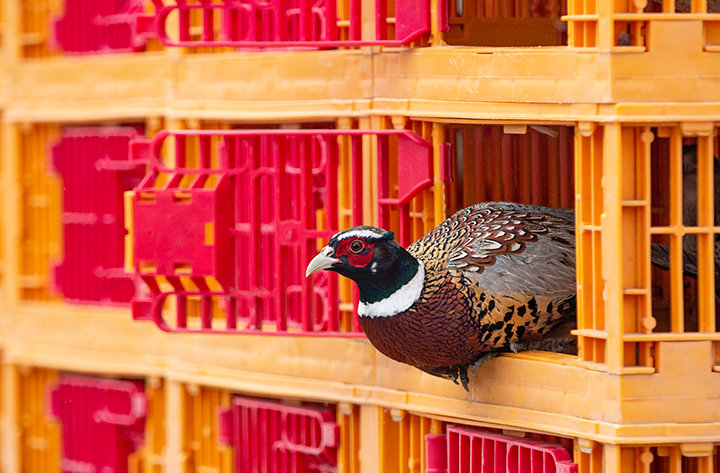 A rooster pheasant hesitates before being released at Yellowtail WHMA, near Lovell. Hunters taking advantage of the stocked area need to purchase a pheasant habitat stamp before heading afield. The season ends Dec. 31.