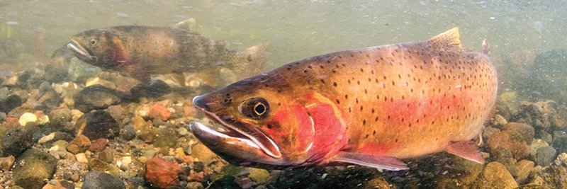 In an effort to protect native cutthroat trout (above), Yellowstone National Park staff and contractors have killed more than 3.4 million invasive lake trout since 1994.