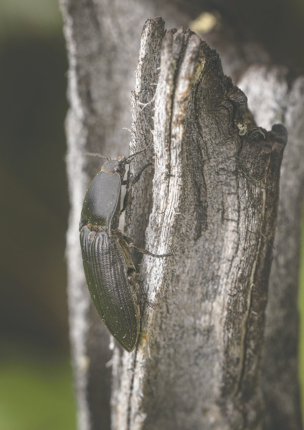 A click beetle — named for the noise they make when threatened — looks for a meal near decaying wood. The species is closely related to fireflies, but without the delightful lights.