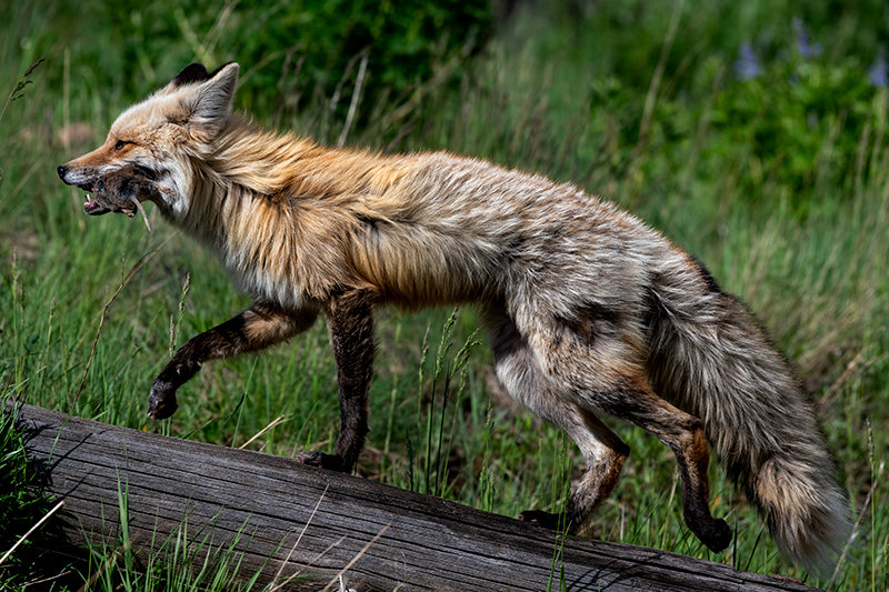 A red fox captures a rodent while foraging for a meal near the Northeast Gate of Yellowstone National Park. Foxes are considered predatory animals in Wyoming and, along with coyotes, jackrabbits, porcupine, raccoon, skunk and stray cats, can be harvested without a license in the state.
