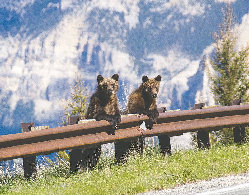 As cubs, a photo of Smokey and Bandit was taken by Powell school teacher Michelle Giltner while appearing to be people watching on the side of the Chief Joseph Highway. Had the Riverside Discovery Center not had room, it is likely the two cubs would have been euthanized.