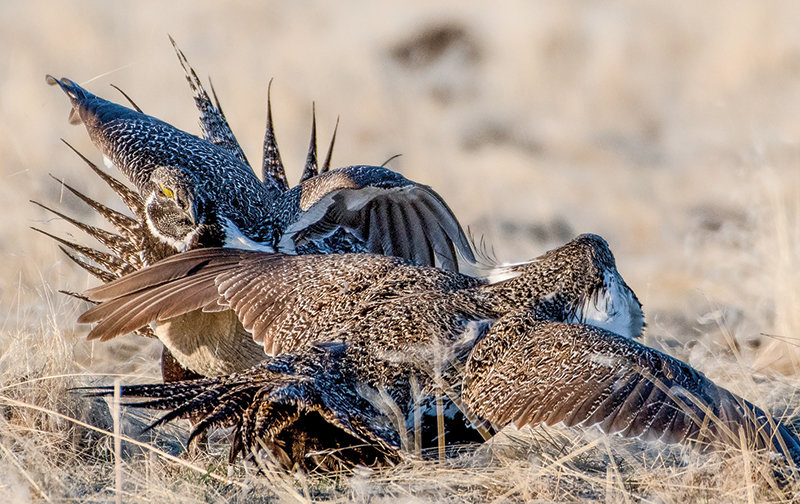 The Bureau of Land Management has announced changes to resource management plans in six western states, including Wyoming, that will affect the sage grouse. Conservation groups claim damaging environmental impacts will result from the proposed change.