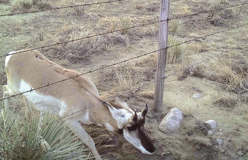 A pronghorn ducks under barb wire in Clark, before the fence was modified. The scars on its back tell the story of past journeys under barbed wire fences.