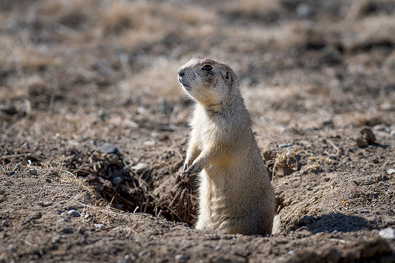 A prairie dog stands guard near Meeteetse in one of the priority habitats on private property for the endangered black-footed ferret. The Wyoming Game and Fish Department works with all stakeholders to conserve and improve habitat in the state.