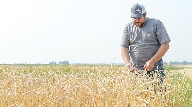 Sam George, farm manager, stands in a field of spelt at the Powell Research and Extension Center. The research into the ancient grains isn't showing the crop requires lower inputs in the Big Horn Basin's soils, as was expected.
