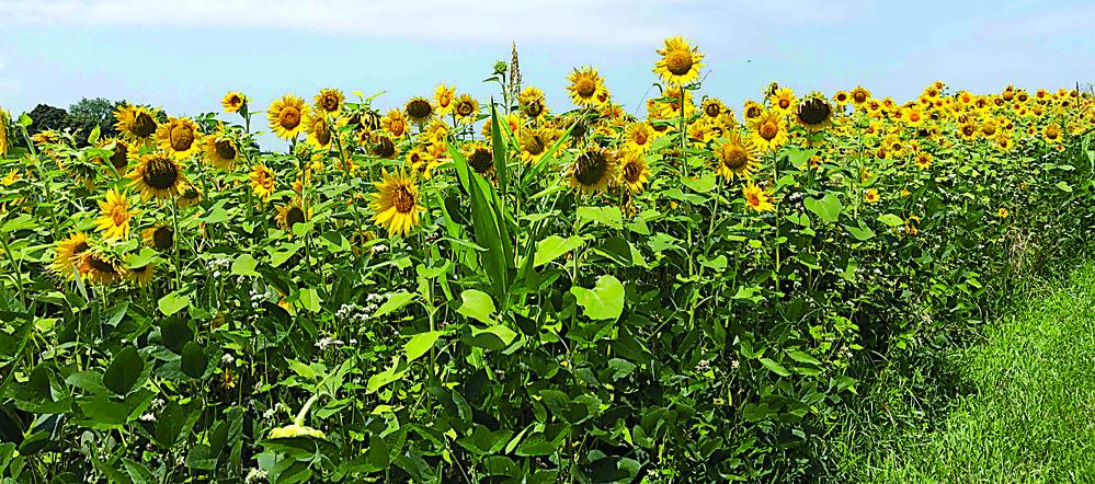 Beautiful sunflower plants line Oberlin Road.