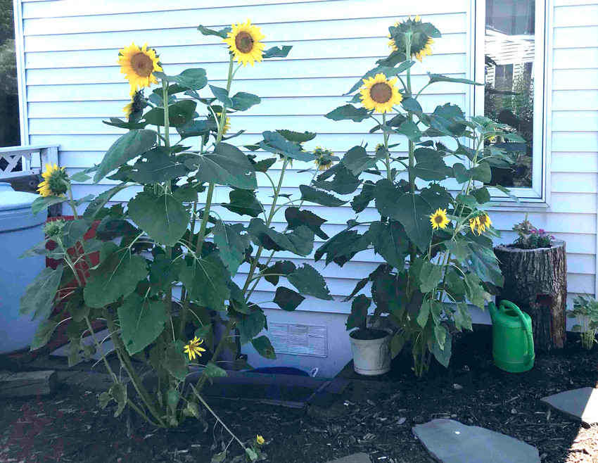 Sunflower plants are growing in LaVonne Ackerman's garden.