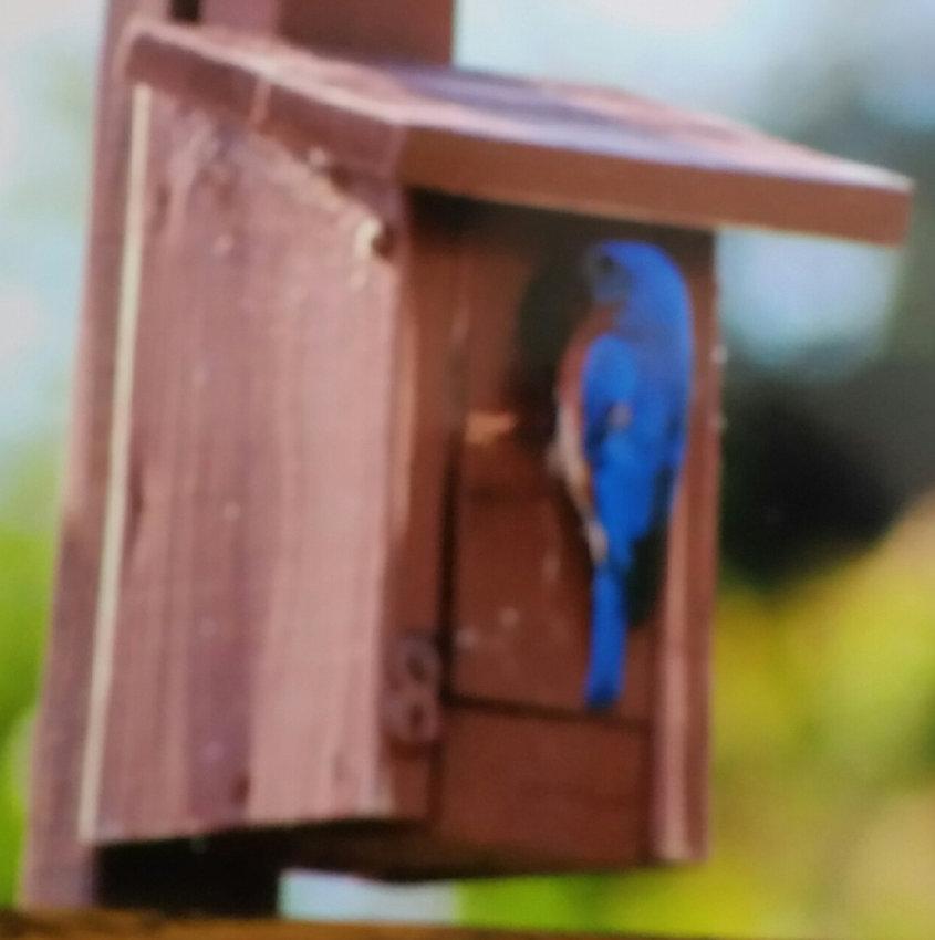 Four recent bluebird hatchings recently needed a hand.