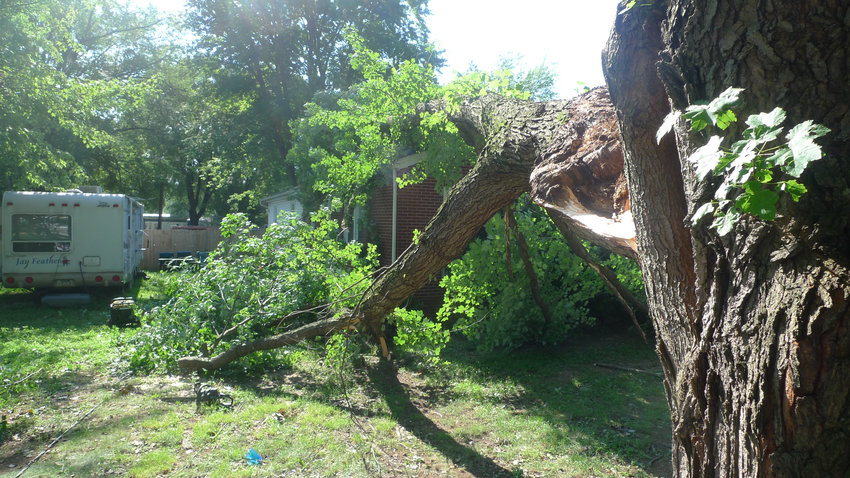 A large maple tree fell onto a house on the 1100 block of Vine Street.