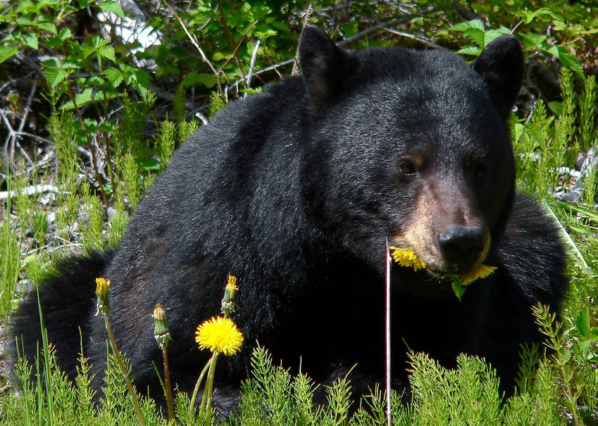 Tom Shank's encounters with black bears were a little too close for comfort.