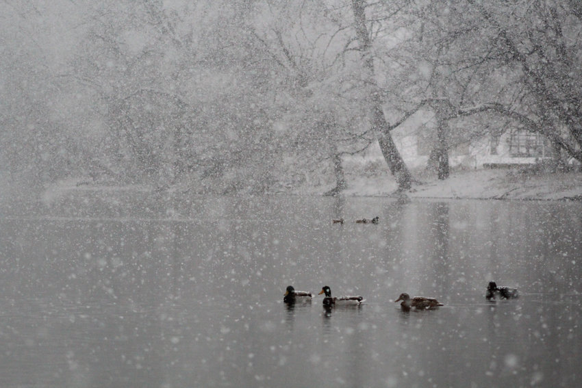 The snow didn't bother ducks swimming on the Swatara Creek on Jan. 7.