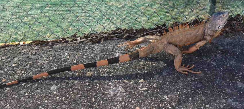 LaVonne Ackerman captured this picture of an iguana in Mexico last year. The iguanas in Florida have been falling off trees because of cold weather.