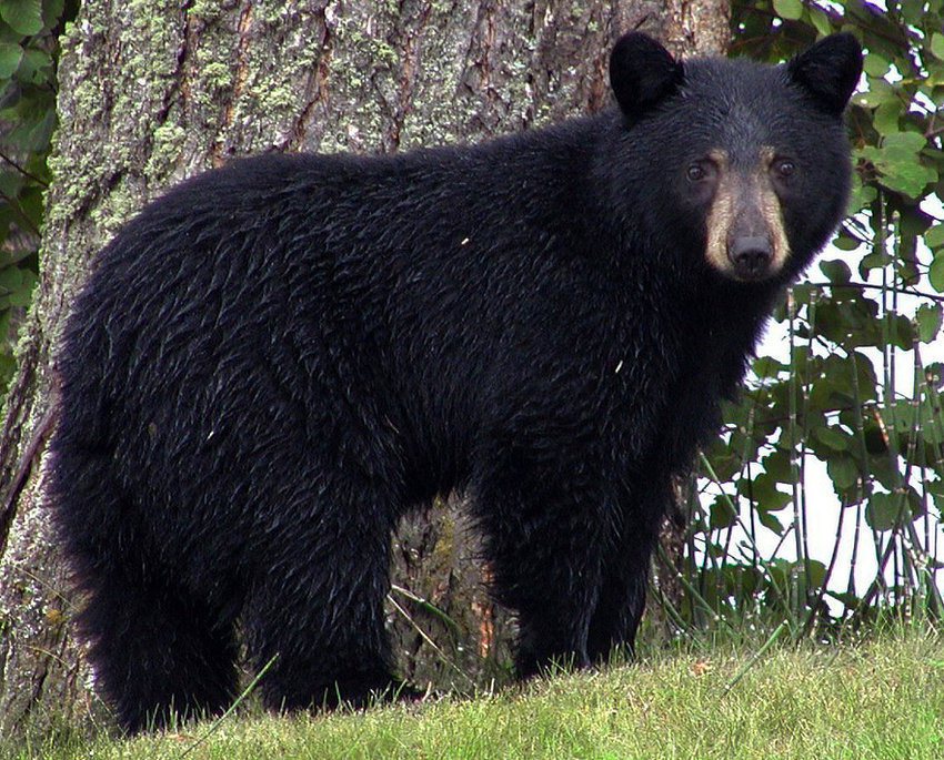 A black bear that might look like this one is reportedly roaming in Lower Swatara Township.