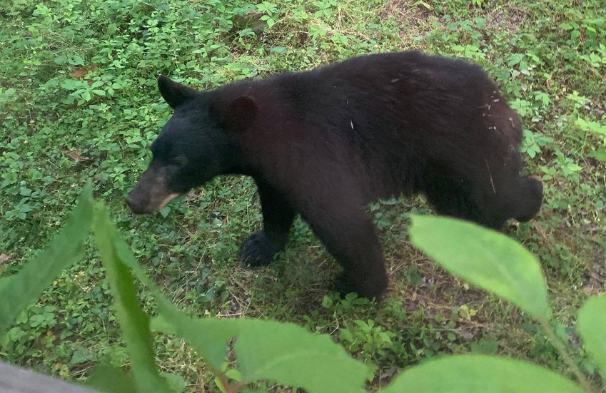 This young adult black bear is roaming in Lower Swatara Township.