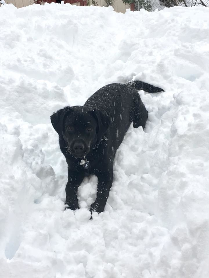 Tracy Schmidt Gipe's 9-month-old Labrador Liberty loves all the snow in Lower Swatara Township