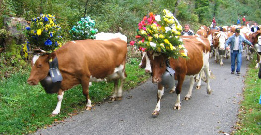 In Switzerland, cows come down from the mountain in the late fall before the snow begins to fall.