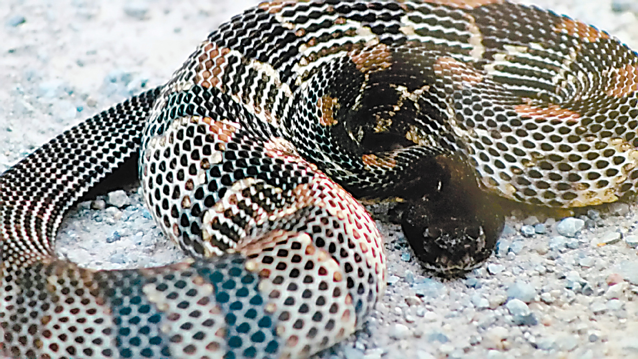 This photo of a black phase timber rattler was taken at a safe distance.