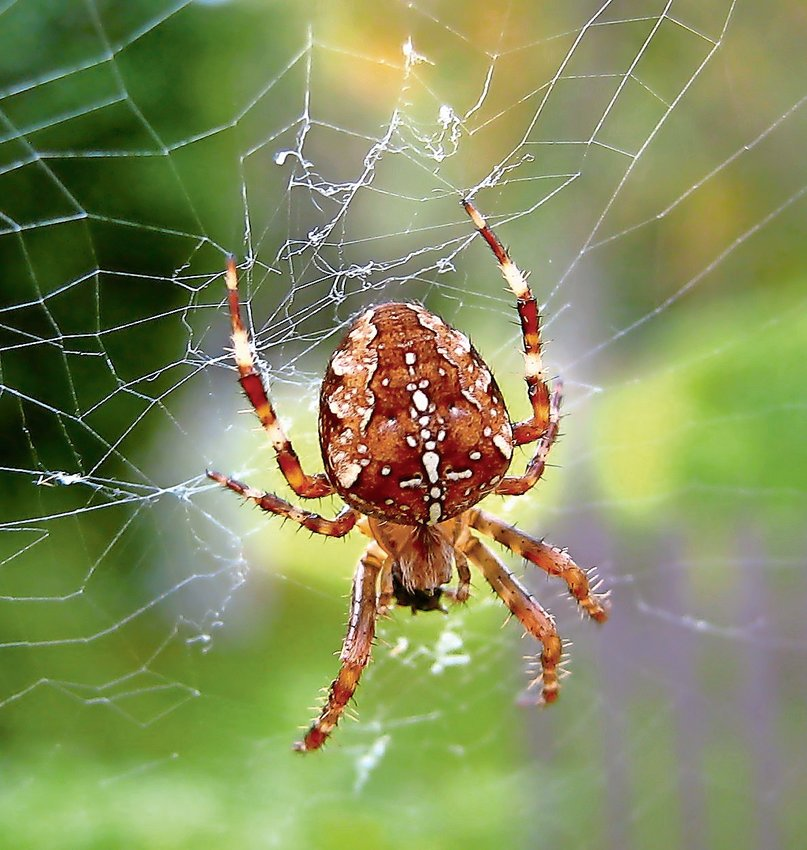 Yes, Halloween is over. But the so-called pumpkin spider is coming out to play —and it's not exactly what insects trying to tough out autumn will want to run into.