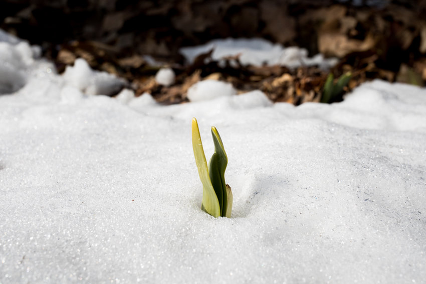 A daffodil sprout parts the snow in Brust Park at West 242nd Street and Manhattan College Parkway. The volunteer organization Stewards of Brust Park planted 1,000 daffodils they hope will bloom this spring. The organization works throughout the year to maintain and beautify the space.