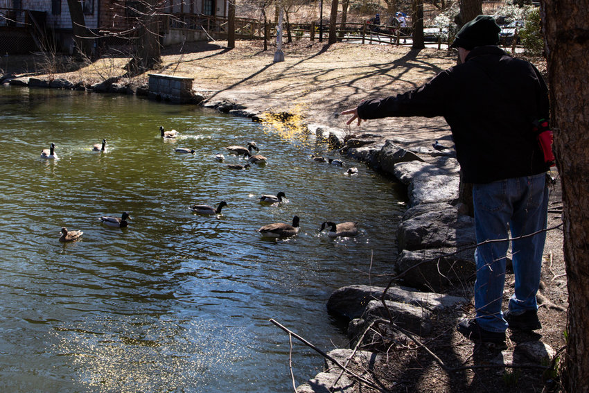 A man tosses food to geese and ducks paddling in the lake at Van Cortlandt Park. While park rules already prohibit feeding wildlife, the city is looking to outlaw the practice, claiming it disrupts the ecosystem in parks throughout the city and ultimately fills the bellies of rats and raccoons.