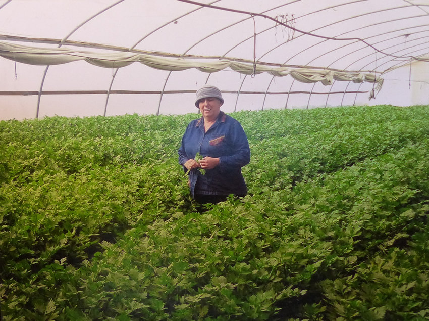 Anita Tucker shows off her greenhouse from the sands of Gush Katif.