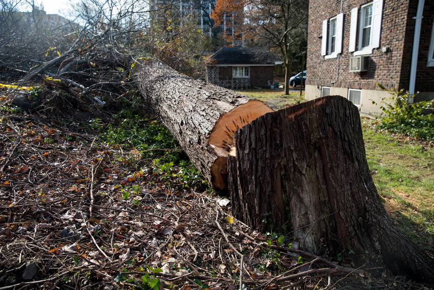 A felled tree lays on the ground between a private residence and the parking lot for Schervier Rehabilitation and Nursing Center near the corner of West 231st Street and Independence Avenue. City officials claim the tree was cut down against Special Natural Area District regulations.