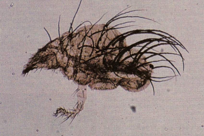 Some of the most interesting finds when it comes to ancient organisms are the vast number of arthropods, like this 370-million-year-old mite.