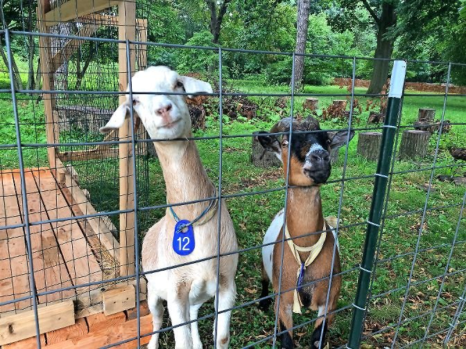 As of July 24, Iris, left, and Manny have been eating the invasive species on the eastern side of the Van Cortlandt House Museum grounds. The goats have been more effective than humans when it comes to getting rid of invasive species.