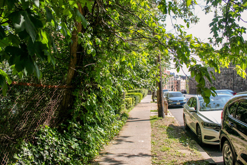 Poison ivy dangles overhead and is lined up along the chain-link fence and tree on the sidewalk south of the Riverdale and Greystone avenues intersection. Because of it, passersby need to walk with caution or risk contracting a rash.