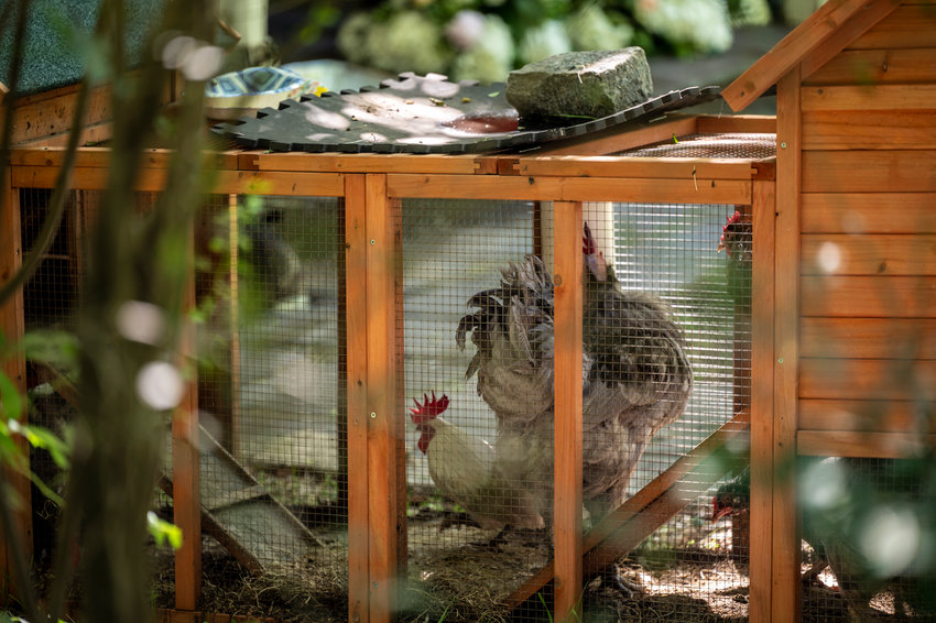 A rooster recently took up residence at a home on Ploughmans Bush. But its noisy demeanor led a few to question its place there — especially since it's illegal to own a rooster in New York City.