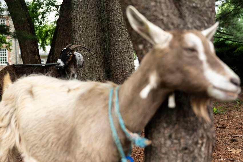 Taffy and Juliet, hanging out under shady trees on a sunny day, are two of the Van Cortlandt Park brought in for a summer of munching on invasive plants.