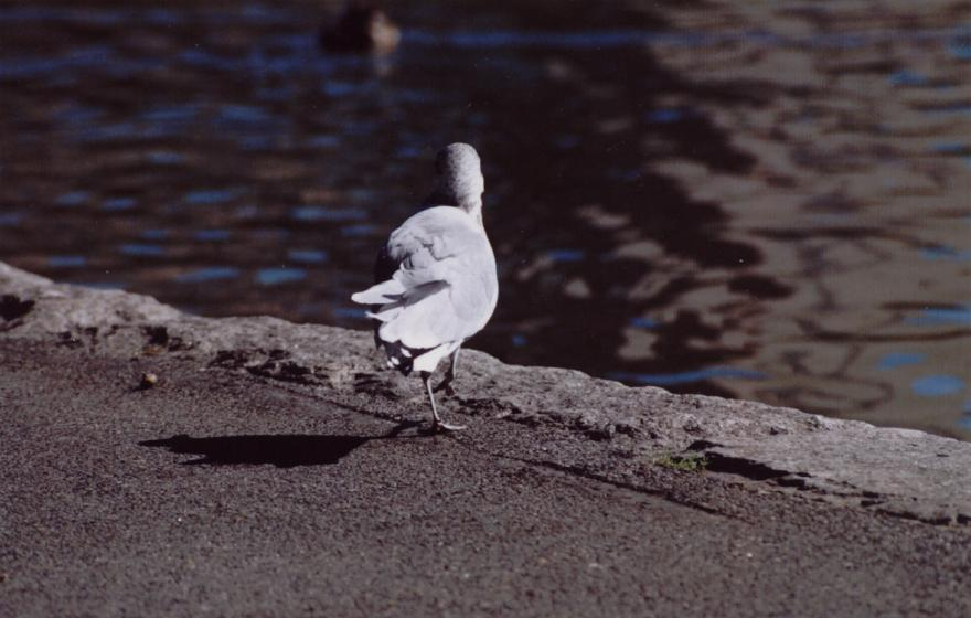 Seagull In Central Park