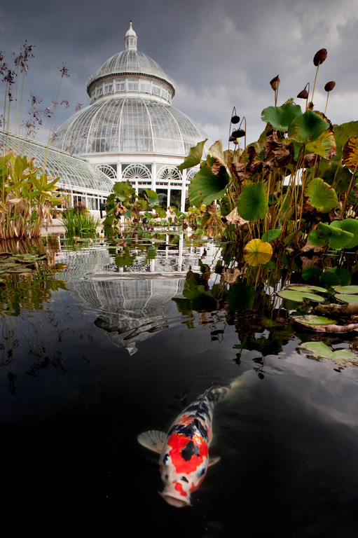A koi swims in the waters of a reflecting pool in the courtyard of the Enid A. Haupt Conservatory at the New York Botanical Garden on Sept. 30.