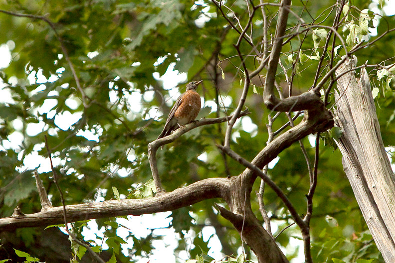 American Robin perches on a branch.