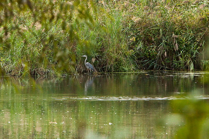 A blue heron plays in the water.