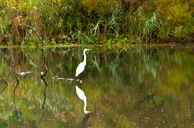 A great egret wades through water.