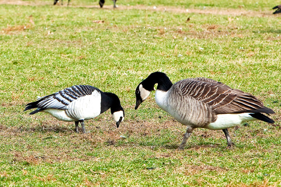 An Arctic Barnacle Goose, left, shares a meal with a Canada Goose in Van Cortlandt Park�s Parade Ground on Nov. 30.