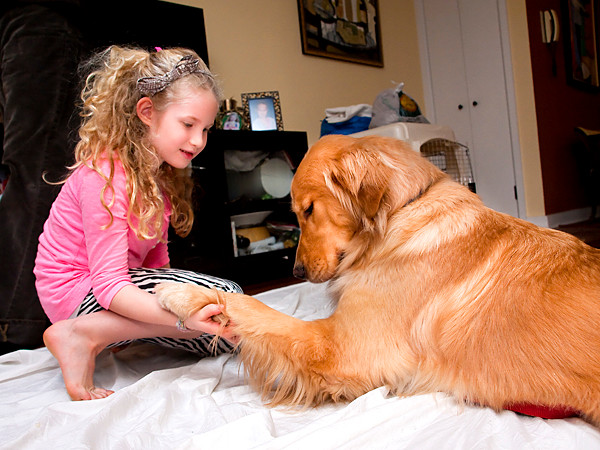 Boone, a golden retriever who is being trained to assist people with disabilities, gives his paw to 7-year-old Joss Horn on Dec. 27.