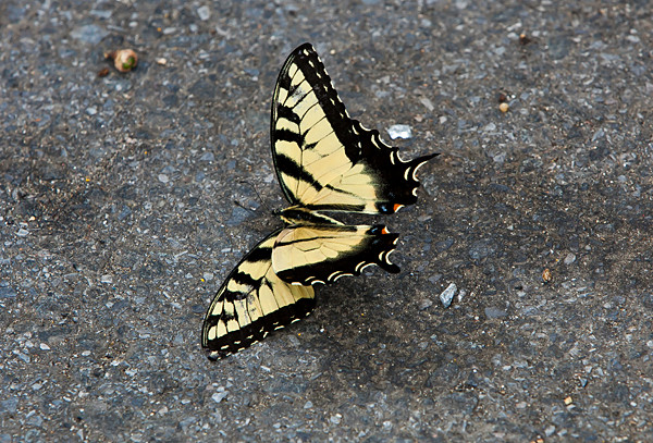 The Papilio Glaucus butterfly had lost its life, but not its beauty, as it lay lifeless near Van Cortlandt Park on Monday.