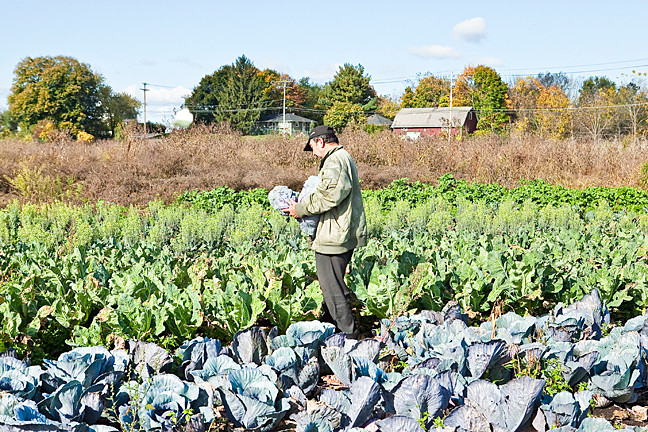 Mr. González walks through a sea of green and blue cabbage at his Goshen, N.Y. farm, which he established with help from the non-profit environmental group GrowNYC.