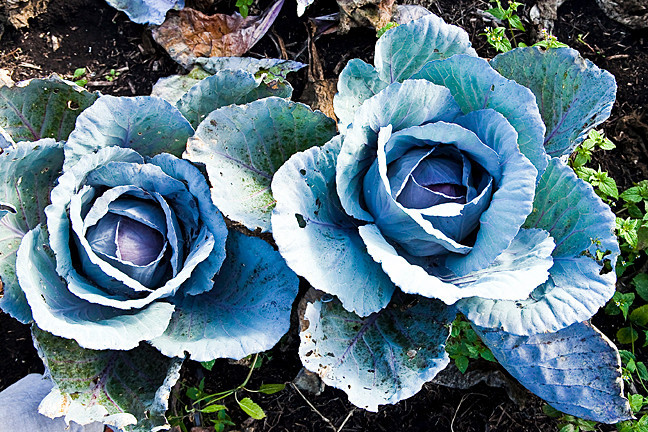 Bold blue cabbage fit for a Georgia O'Keeffe painting blooms on Mr. González's farm.