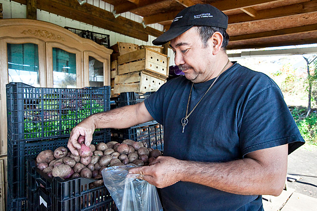 Mr. González bags some potatoes at his farm on Oct. 18.