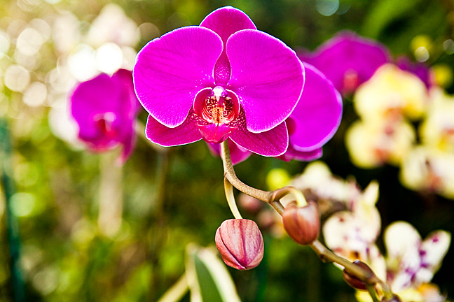 A moth orchid in glorious bloom at the New York Botanical Garden's annual orchid show on Feb. 28.