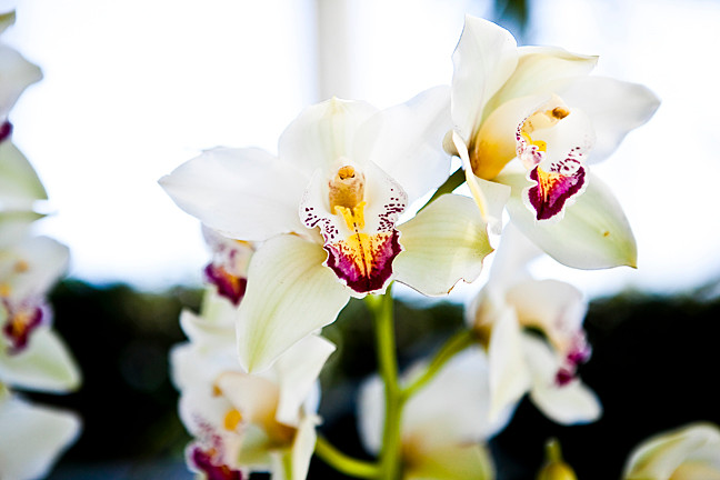 Asian corsage orchids.