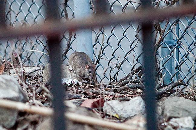 A rodent ascended at 7:12 p.m. from holes in the Riverdale Playground dirt for a split second before it returned underground on West 236th Street between Independence Avenue and Hudson Manor Terrace.